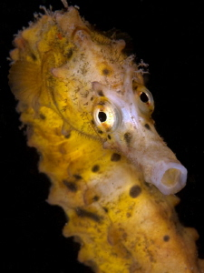 Big-bellied Seahorse, Hippocampus abdominalis. Chowder Ba... by Doug Anderson